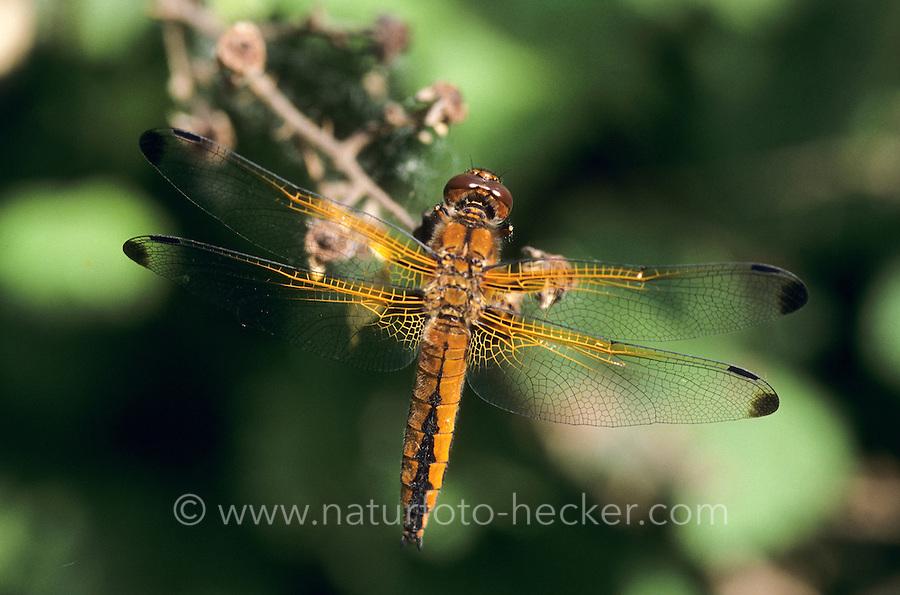 Spitzenfleck, Spitzenfleck-Libelle, Weibchen, Libellula fulva, scarce chaser dragonfly, scarce libellula, female