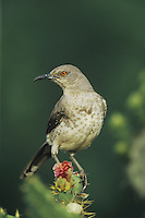 Curve-billed Thrasher (Toxostoma curvirostre), adult perched on Texas Prickly Pear Cactus (Opuntia lindheimeri), Starr County, Rio Grande Valley, Texas, USA