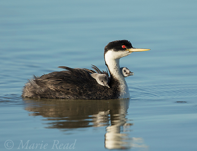 Western Grebe (Aechmophorus occidentalis), adult carrying two chicks on its back, Bear River Migratory Bird Refuge, Utah, USA
