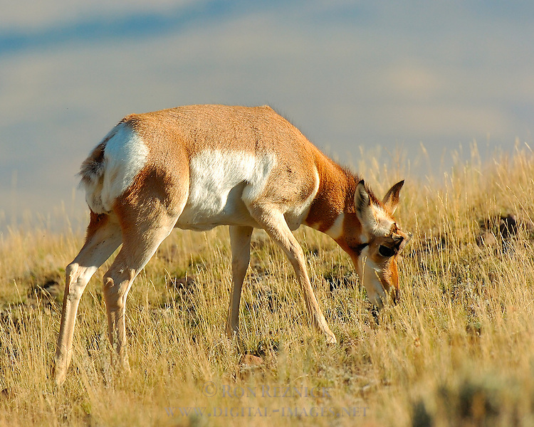 Pronghorn Female Grazing, Floating Island Lake, Yellowstone National Park, Wyoming