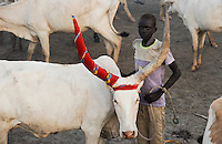 SOUTH SUDAN  Bahr al Ghazal region , Lakes State, young Dinka shepherd with Zebu cow in cattle camp near Rumbek / SUED-SUDAN  Bahr el Ghazal region , Lakes State, junger Dinka Hirte mit Zeburindern im cattle camp