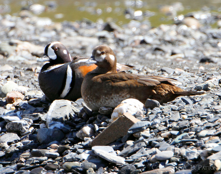 Pair of harlequin ducks at Savage River in June