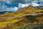 Aspens, Populus Tremula, Cimarron Ridge, Uncompahgre National Forest, Colorado