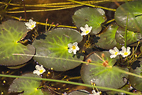 "These very pretty little aquatic wildflowers are native to the American Southeast, and can be found in all the coastal states from Texas to Maryland in calm, still water such as ponds swamps and lakes, and are most abundant in Florida. These are perhaps best known to aquarium hobbyists as ""banana plants"" due to the thick underwater rhizomes that look lie a small cluster of bananas. These were found is a small pond in a pine scrub woodland just north of Jupiter, Florida."
