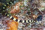 Halicampus crinitus, Harlequin pipefish, Bonaire