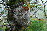 wasp nest on oak tree