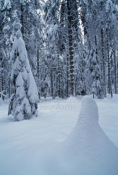 Norway spruce, Picea abies, with snow, Oberaegeri , Switzerland, Europe