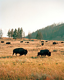 USA, Wyoming, group of bison grazing in Hayden Valley, Yellowstone National Park