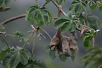 Three-toed Sloth; Bradypus variegatus; mother and baby in Cecropia tree; Panama, Canopy Tower Lodge