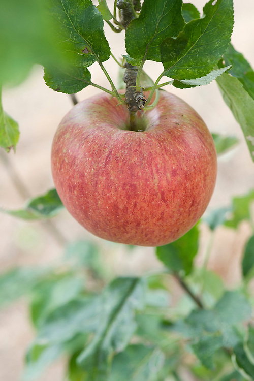 "Apple 'Peasgood's Nonsuch', mid September. A large apple that when ripe is crisp, juicy, and refreshing and can be eaten raw, but also cooks well. First raised by Mrs Peasgood in Lincolnshire and acclaimed by the RHS in 1872 as ""one of the most handsome apples in cultivation"". It certainly is."