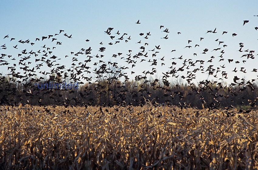 Flock of Blackbirds over a Corn field.