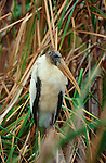 Wood stork, Everglades National Park, Florida