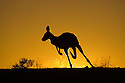 Australia,  NSW, Sturt National Park; red kangaroo silhouette on ridge at sunset (Macropus rufus); the red kangaroo population increased dramatically after the recent rains in the previous 3 years following 8 years of drought