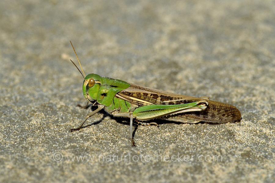 Europäische Wanderheuschrecke, Wander-Heuschrecke, Locusta migratoria, Pachytylus migratorius, Migratory locust