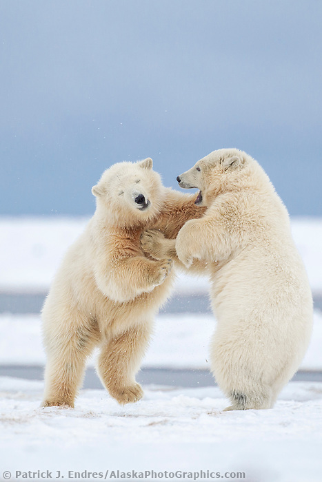 Polar bear cubs play fight in the snow on a barrier island in Alaska's Beaufort Sea, Arctic National Wildlife Refuge.