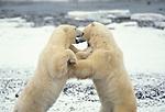 Polar bear (Ursus maritimus) - Hudson bay, sparring