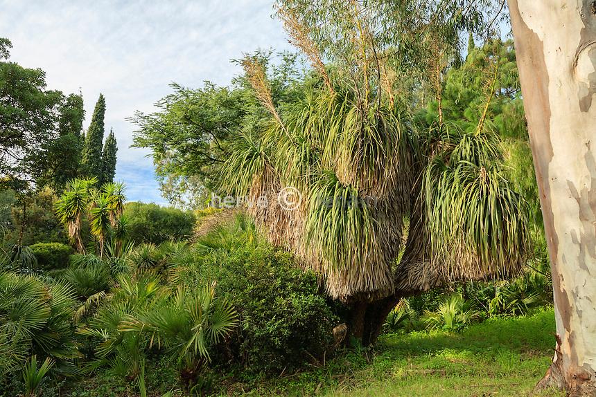 Domaine du Rayol en novembre : dans le jardin d'Amérique subtropicale, noline à longues feuilles (Nolina longifolia)