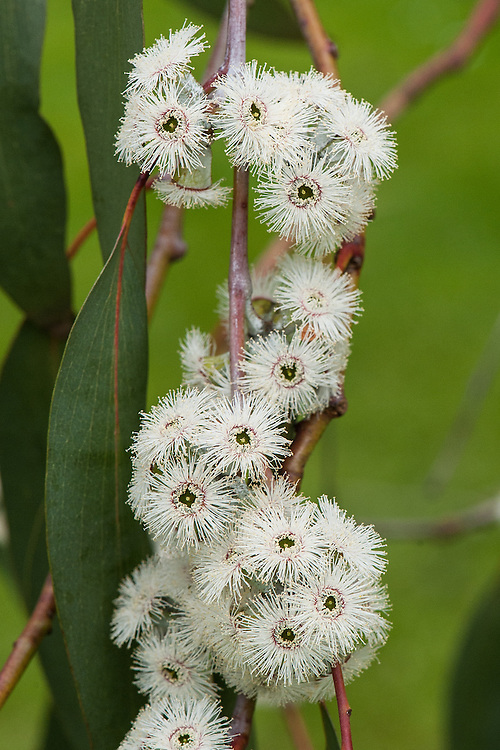 Jounama snow gum tree (Eucalyptus pauciflora subsp. debeuzevillei) in flower, mid May.