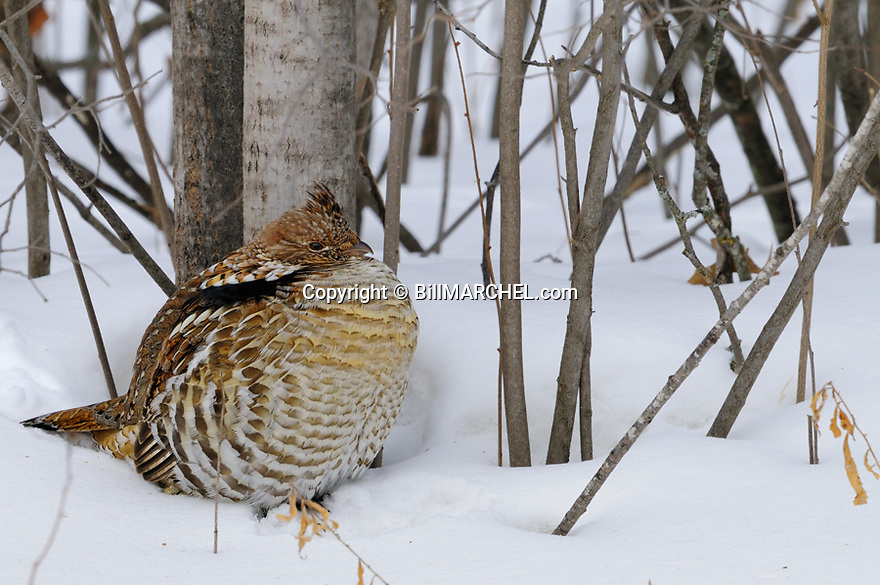 00515-071.10 Ruffed Grouse has its feathers fluffed against the cold as it sits in snow next to aspen tree trunks.  Hunt, winter, survive, cold.
