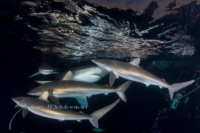 Carcharhinus falciformis, Cuba Underwater, Gardens of the Queen, Sunlit silky sharks at the surface, Sharknado, feeding frenzy