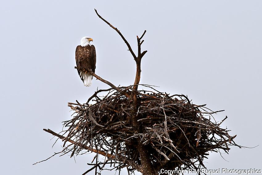 Bald Eagle with Nest