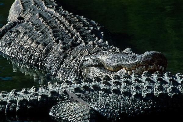 American Alligators (Alligator mississippiensis), Aransas National Wildlife Refuge, Texas.
