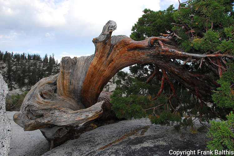 Twisted conifer at Olmstead point