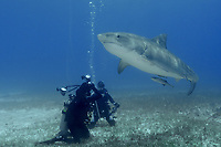 Large tiger shark, Galeocerdo cuvier, swims up and over underwater photographers, Little Bahama Bank, Bahama Islands, Bahamas, Caribbean, Atlantic