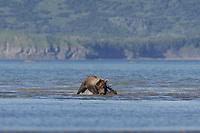 Evil Bastard (AKA Licorice) attacks BooBoo (Lady Hook's spring cub). Kodiak grizzly bear (Ursus arctos middendorffi), Hallo Bay