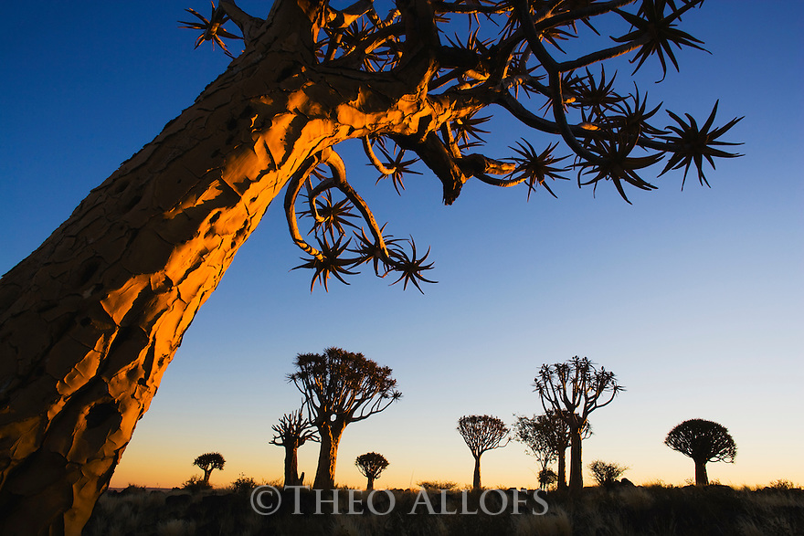 Quiver trees (Aloe dichotoma) at sunset. The branches are being used by bushmen (san) as quivers for their arrows. Quiver trees only occur in southwestern Africa in and along the edges of the Namib Desert.