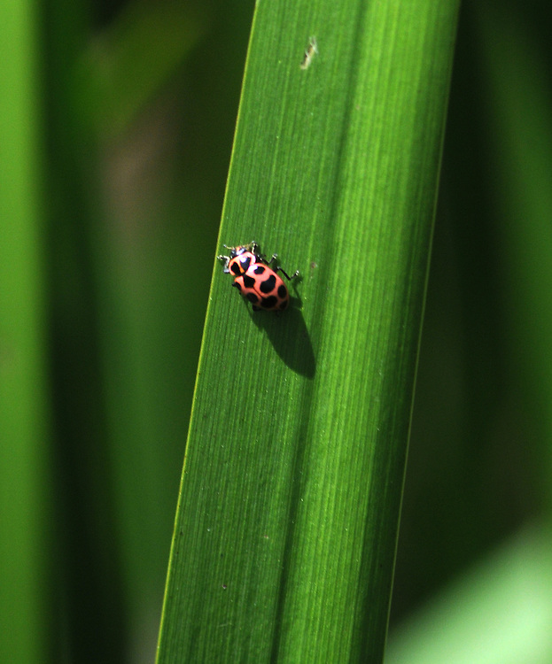 Ladybug seen in the Esopus Bend Nature Preserve in Saugerties, NY, on Monday, July 11, 2016. Photo by Jim Peppler. Copyright Jim Peppler 2016. x