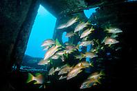 schoolmasters, Lutjanus apodus, .Tugboat Wreck, Key West, .Florida Keys National Marine .Sanctuary, Florida (Atlantic).