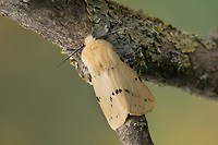 Gelber Fleckleib-Bär, Gelber Fleckleibbär, Gelbe Tigermotte, Spilarctia lutea, Spilarctia luteum, Spilosoma lutea, Spilosoma luteum, Buff Ermine moth, buff ermine, l'Ecaille Lièvre, Bärenspinner, Arctiidae, Arctiinae, erebid moths, erebid moth, woolly bears, woolly worms