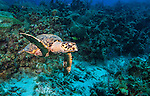9 July 2013: A Loggerhead Turtle  (Caretta caretta) cruises Lexau's Legacy Reef off the North Shore of Grand Cayman Island. Located in the British West Indies in the  Caribbean, the Cayman Islands are renowned for excellent scuba diving, snorkeling, beaches and banking.  Mandatory Credit: Ed Wolfstein Photo