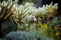 Cholla cactus and Brittle Bush. The Living Desert. Palm Desert, California
