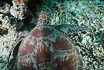 Green sea turtle, Pulau Sipadan, Malaysia