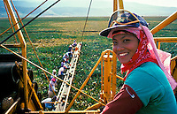 EDITORIAL ONLY. Pineapple field worker operating harvest machinery on Lanai