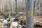 Flagging and yellow trail blazing on birch tree along the Mount Tecumseh Trail in the New Hampshire White Mountains. After an inspection of the trail by Forest Service, the non-conforming blazing (on left) was removed.