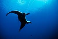 reef manta ray, Manta alfredi, hooked on long line. Cocos Island, Costa Rica - Pacific Ocean
