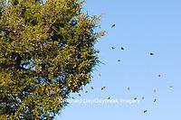 03536-05802 Monarch Butterflies (Danus plexippus) leaving roost in Eastern Red Cedar (Juniperus virginiana)  Prairie Ridge State Natural Area, Marion Co., IL