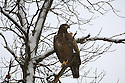 00370-014.15 Bald Eagle (DIGITAL) immature bird in tree during snow fall.  Raptor, bird of prey, predator, survival.  H3F1