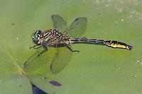 Clearlake Clubtail (Gomphus australis) Dragonfly - Male, Gordonia-Alatamaha State Park, Reidsville, Tattnall County, Georgia