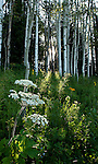 The sun through the aspens illuminates summertime flowers in Gunnison National Forest near Crested Butte, Colorado