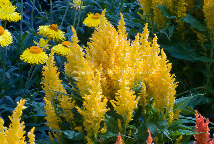 Celosia Fresh Look Gold and Bracteantha Dreamtime Jumbo Yellow, two annuals flowers growing together, yellow color theme plants, both make excellent dried flowers