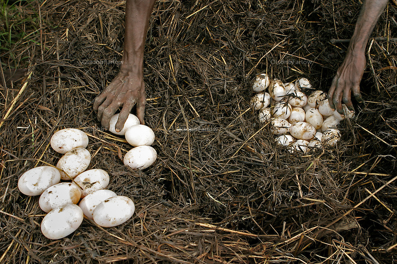 "Aboriginals collect crocodile eggs to stay in touch with their culture.<br /> I've never hunted for crocodile eggs with aborigines, and no matter how many times you ask how the scenario will play out, you really don't know what it will be like.  <br /> The first day we had gathered 140 eggs from 3 nests and the croc had slithered off before we got there.  Aborigines just use a big stick or paddle to defend themselves from charging crocodiles and the first day there were two men armed with sticks.  As we walked toward the nest I patted their shoulders and told them I was standing behind them and they had to protect me.  They monitored my movements and kept themselves between me and the nest.  <br /> The next day the sticks were manned by kids.  There were no eggs in the first nest we found.  And no longer had a croc guarding it.  When we came up on the second nest the boat ran up against a log and we all had to jump out into the water to get to land.  <br /> Carrying cameras always puts you a couple of steps behind everyone else.  When I jumped into the water, the kids with sticks were already a couple of yards in front of me.  The only thing I really remember after that is seeing this huge gaping mouth of a crocodile coming right at me.  I knew they could run fast but I remember thinking ""how do they see where they're going with all those teeth lifted up in front of their eyeballs?""  <br /> The boys were far enough ahead that they could run to the right.  The crazed animal only had one brain loop operating at that moment. It wanted to get to the water. I was still in the watery rut at the edge of the river and the only thing in its way. <br /> I had two options: jaws or water.  In panic mode, I chose the water option. The real fear came one second later realizing I am in water with an angry crocodile.  There is some discrepancy about the size of the crocodile.  Rule of thumb is that an 8 foot crocodile can take a man if they are both in the water.  Estimates from 3 witnesses vary from 7 to 10 feet."