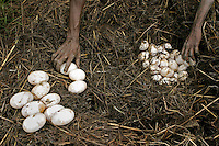 Aboriginals collect crocodile eggs to stay in touch with their culture.<br /> I've never hunted for crocodile eggs with aborigines, and no matter how many times you ask how the scenario will play out, you really don't know what it will be like.  <br /> The first day we had gathered 140 eggs from 3 nests and the croc had slithered off before we got there.  Aborigines just use a big stick or paddle to defend themselves from charging crocodiles and the first day there were two men armed with sticks.  As we walked toward the nest I patted their shoulders and told them I was standing behind them and they had to protect me.  They monitored my movements and kept themselves between me and the nest.  <br /> The next day the sticks were manned by kids.  There were no eggs in the first nest we found.  And no longer had a croc guarding it.  When we came up on the second nest the boat ran up against a log and we all had to jump out into the water to get to land.  <br /> Carrying cameras always puts you a couple of steps behind everyone else.  When I jumped into the water, the kids with sticks were already a couple of yards in front of me.  The only thing I really remember after that is seeing this huge gaping mouth of a crocodile coming right at me.  I knew they could run fast but I remember thinking &quot;how do they see where they're going with all those teeth lifted up in front of their eyeballs?&quot;  <br /> The boys were far enough ahead that they could run to the right.  The crazed animal only had one brain loop operating at that moment. It wanted to get to the water. I was still in the watery rut at the edge of the river and the only thing in its way. <br /> I had two options: jaws or water.  In panic mode, I chose the water option. The real fear came one second later realizing I am in water with an angry crocodile.  There is some discrepancy about the size of the crocodile.  Rule of thumb is that an 8 foot crocodile can take a man if they are both in the water.  Estimates from 3 witnesses vary from 7 to 10 feet.