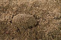Beifuß-Mönch, Beifuss-Mönch, Beifußmönch, Beifussmönch, Wermut-Mönch, Wermutmönch, Puppe, Puppenkokon, Cucullia absinthii, Cucullia clausa, wormwood, pupa, pupae, Cucullie de l'Absinthe, Eulenfalter, Noctuidae, noctuid moths, noctuid moth