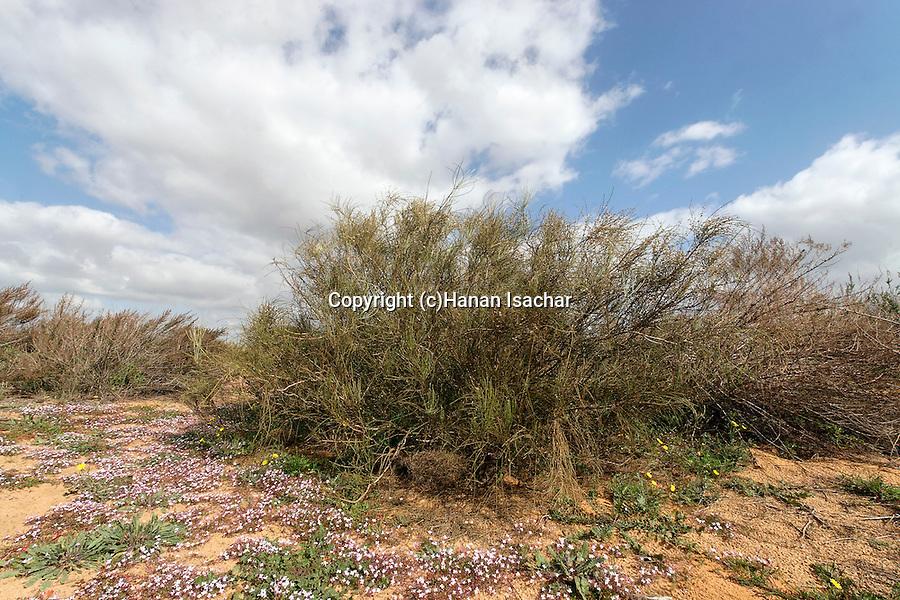 Israel, Southern Coastal Plain. White Broom (Retama raetam) in Ashdod dunes