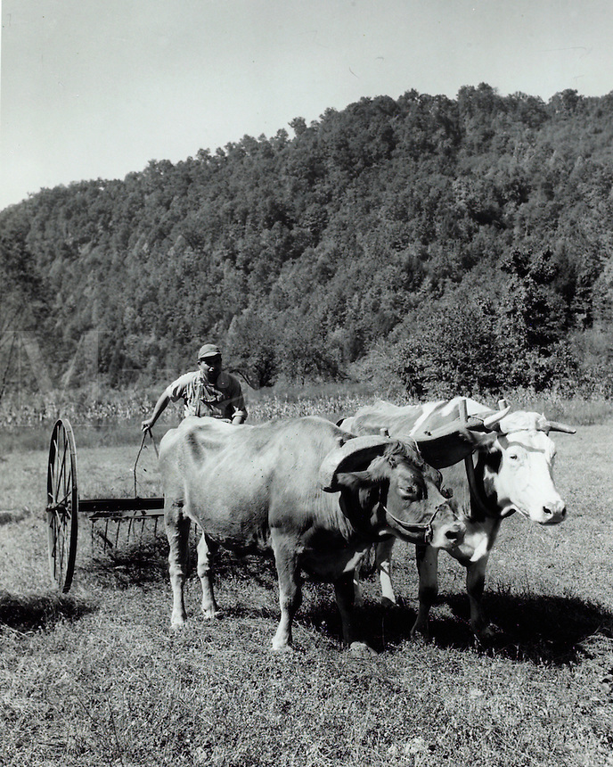 Farmer operating hay rake pulled by yoke of oxen. 1950's.