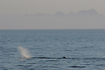 sperm whale blowing in the Gulf of California